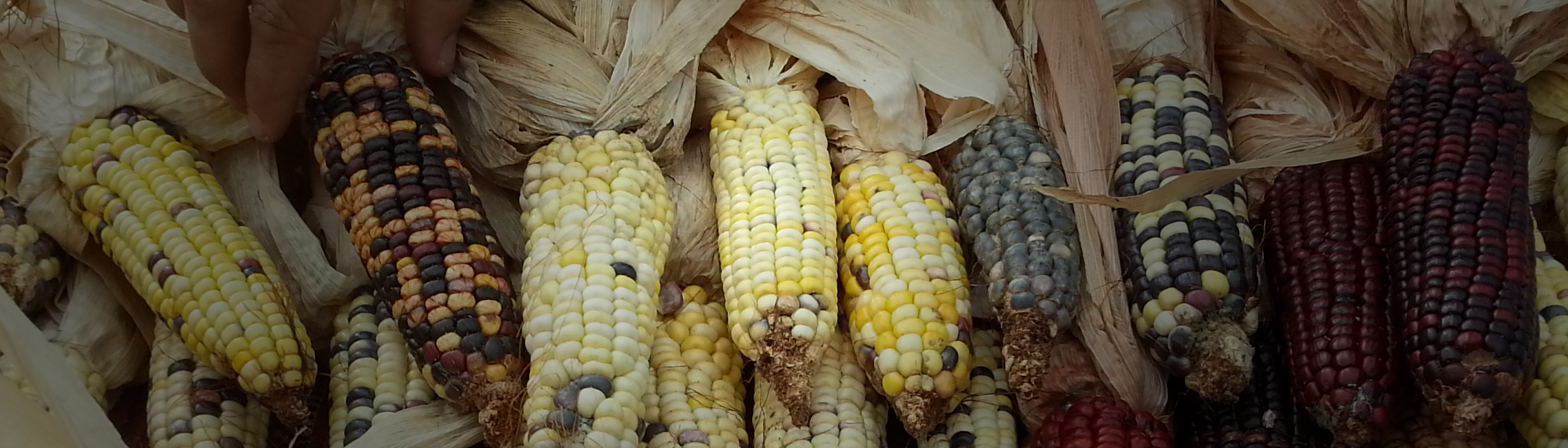 Corn's complex evolutionary legacy